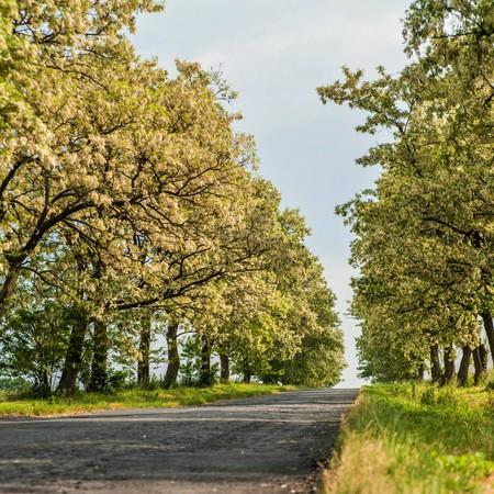 Aleja Akacjowa - gmina Wilków, powiat namysłowski (fot. Barbara Jarmuszewska)